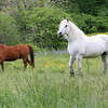 HORSE_6862:Rockport: The horses at Seaview Farm frolic in one of the upper fields. During the summer months the horses are put out to pasture. Staff photo/Mary Muckenhoupt.