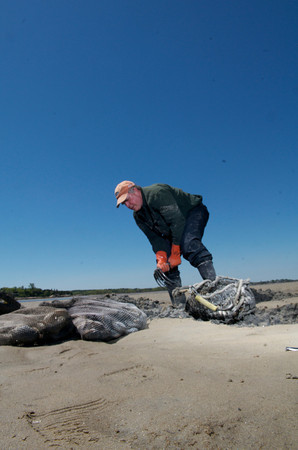 Jack Montoni, 57, of Gloucester, digs up clams in Farm Creek. Photo by Desi Smith.