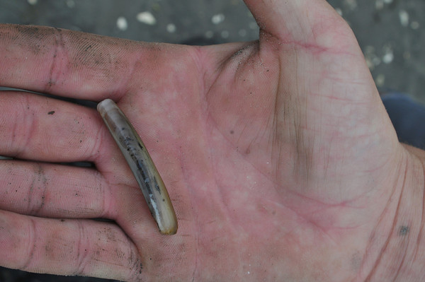 Razor clams are worth more in the clamming market and are hard to find.<br /> Photo by Desi Smith.