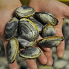 Essex: These dark shelled clams are known as mud clams,as shown hert at Essex Seafood. Desi Smith Photo.