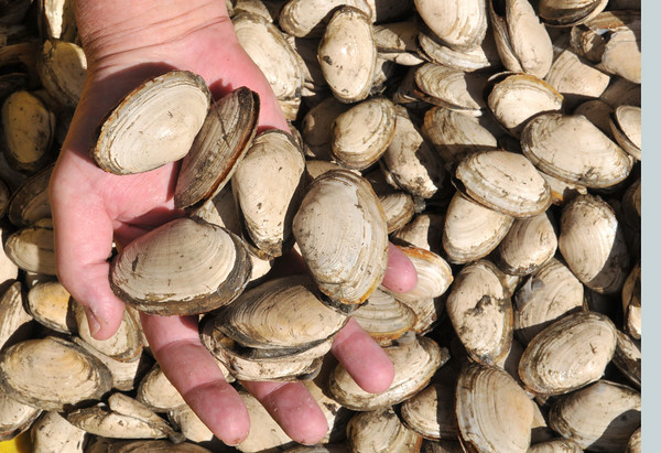 Essex: These white shelled clams are known as sand clams, as shown here at Woodmans. Desi smith photo.