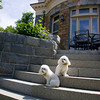 David and Gail Vastola's poodles Katie and P.D. sit on the granite steps of the Vastola's home that was once the old Carnegie Library in Rockport. Photo by Mary Muckenhoupt