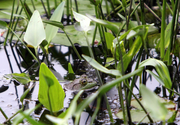 ALLEGRA BOVERMAN/Staff photo. Cape Ann Magazine. Essex: a frog peeks out of a wetland along the trail in The Manchester Woods.