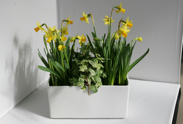 Daffodils from Blue Gate Gardens in Rockport $34.95<br /> 124 Main St. Rockport.