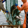 Jay and Pete VanDerpool work together to pull out stray fish caught in higher parts of the net while they haul the net back onto the boat, bringing aboard about 800 pounds of codfish, fulfilling their daily limit of drag fishing on Middle Grounds early Sunday morning, June 28, 2009.    Photo by Kristen Olson