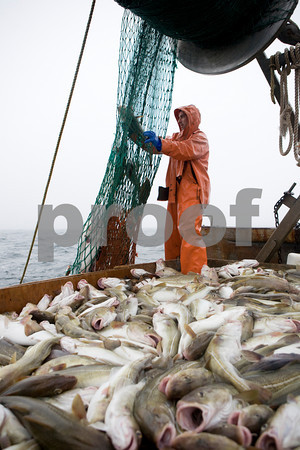 Pete VanDerpool works to straighten out the net after hauling it back on board and catching their 800-pound limit of codfish early Sunday morning, June 28, 2009.  Photo by Kristen Olson