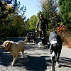 Gloucester: Brian Linquata of Dogtown Pet Care walks (Seamus - yellow lab, Sophie - great dane, Claudi - German short-haired pointer with orange collar, Gretta - German short-haired pointer with yellow collar, Beren - Bernese mountain dog, Stanley - King Charles Cavalier Spaniel, and Pushti - Yorkshire terrier) at the Goose Cove Reservoir