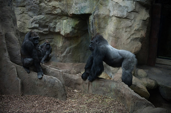 Little Joe, age 19, far right, is the largest male gorilla at the Franklin Park Zoo. <br /> Photo by Desi Smith.