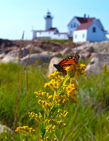 Kim Smith<br /> A monarch rests on goldenrod near the Eastern Point Lighthouse in Gloucester.