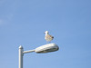 The prerequisite seagull to greet us!