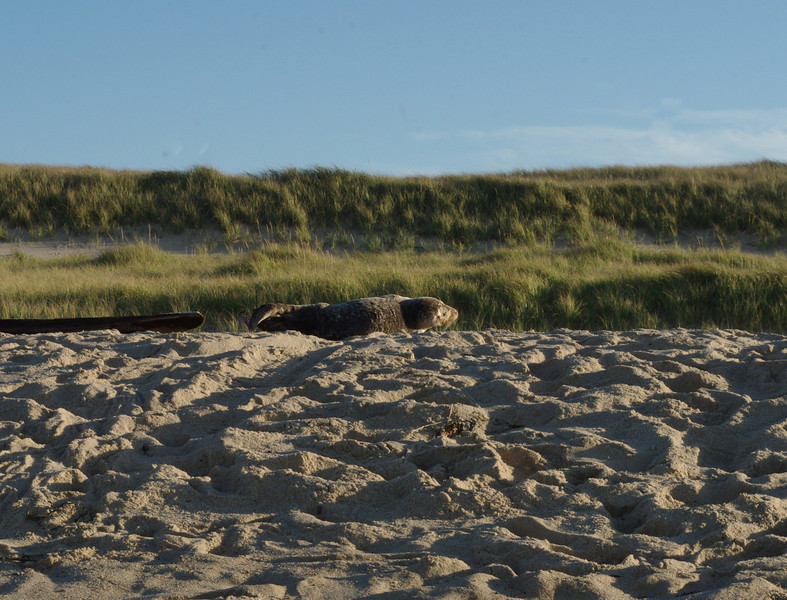 A seal pup fighting for his life on Race Point Beach.  He was being monitored by wildlife officials.