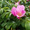 Beach rose