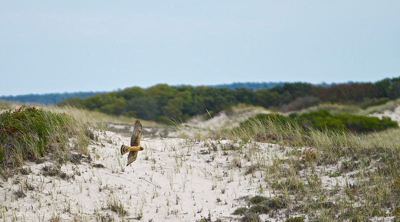 Red Tailed Hawk  Barnstable, MA