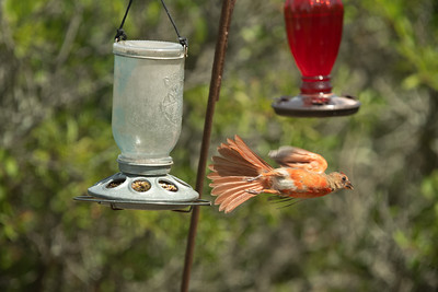 cardinal fleeing feeder