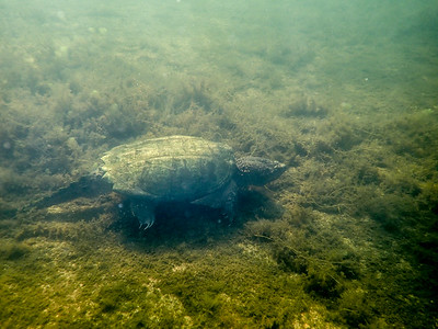big snapping turtle in Great Pond