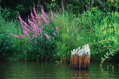 post & loosestrife in Pilgrim Lake