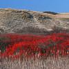 red fall berries on dunes around Pilgrim Lake