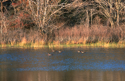 wood ducks on Beech Pond