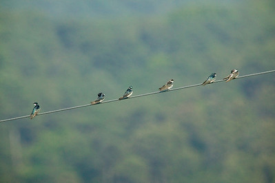 six tree swallows