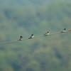 six tree swallows