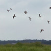 semipalmated plovers in flight