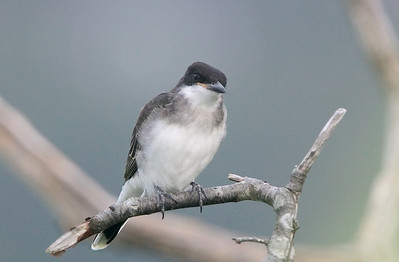 quizzical kingbird