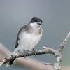 quizzical kingbird