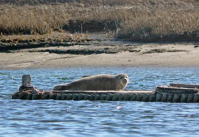 seal basking in Pamet Harbor