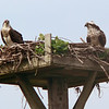 ospreys in nest Pleasant Bay