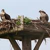ospreys in nest Pleasant Bay