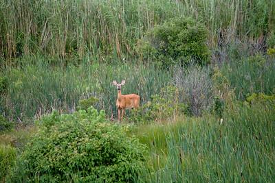 deer in Little Pamet valley