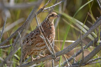 bobwhite quail female