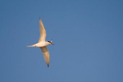 flying tern with sand eel