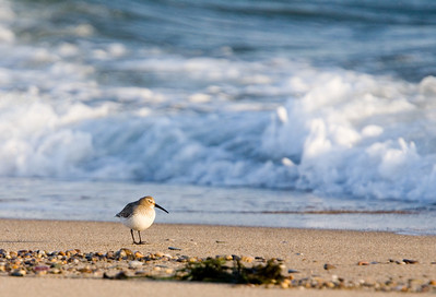 dunlin and wave