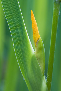 bud of yellow flag iris