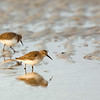 two dunlins
