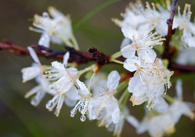 wet beach plum blossoms