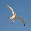 attacking least tern