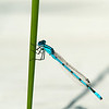 blue damselfly clinging to grass stalk