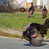 profile displaying wild turkey