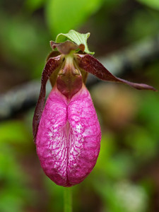 portrait of a Lady's Slipper wild orchid