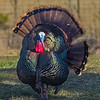 splendid wild tom turkey