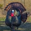 splendid wild tom turkey