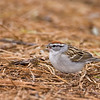 Chipping Sparrow with seed