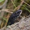 black racer snake portrait