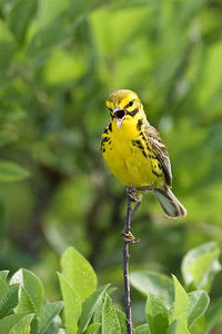 angry prairie warbler
