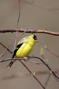 American Goldfinch at Wellfleet Wildlife Sanctuary
