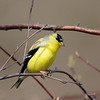 American Goldfinch at Wellfleet Wildlife Sanctuary