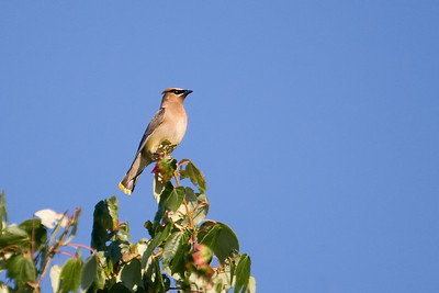 cedar waxwing on upper Pamet 1