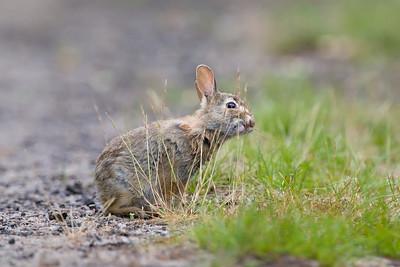 bunny nibbling grass